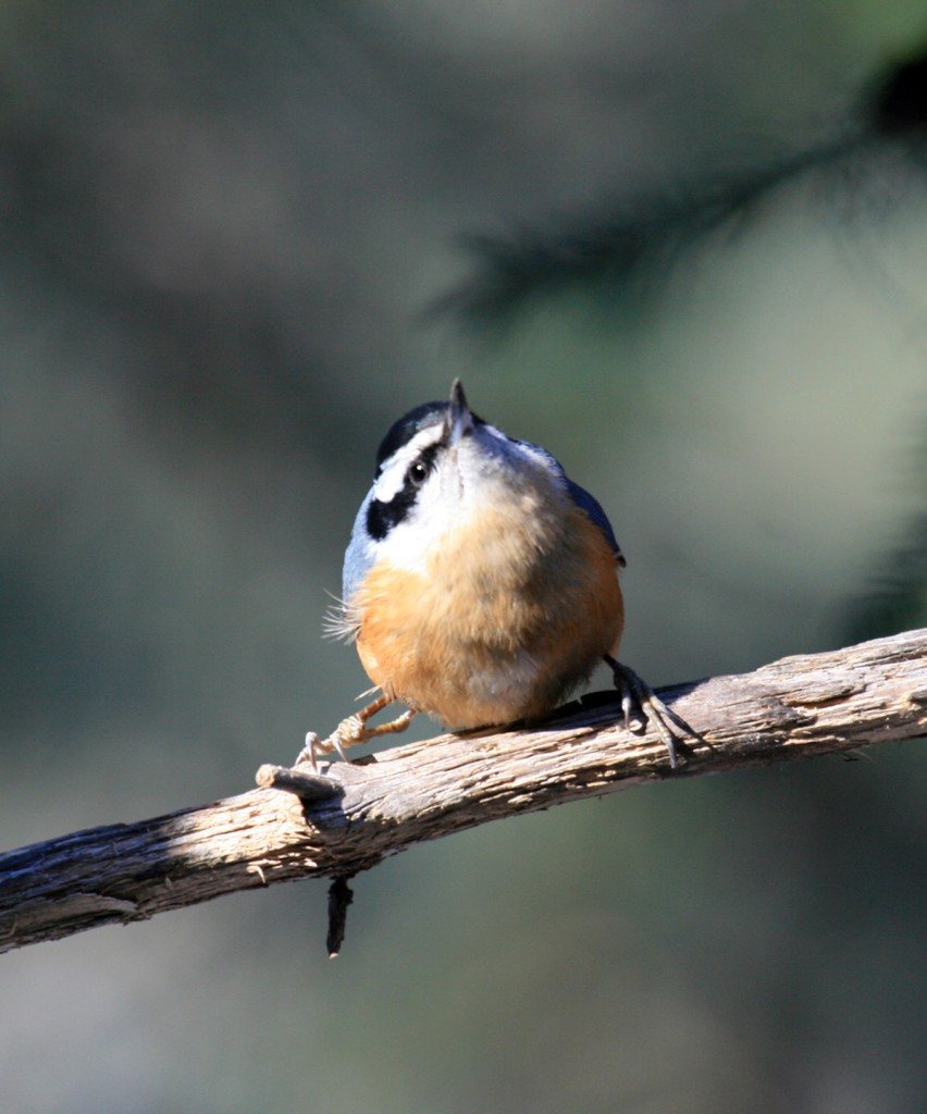 Red-breasted Nuthatch (Sitta Canadensis) - Photo by Alan Sorum