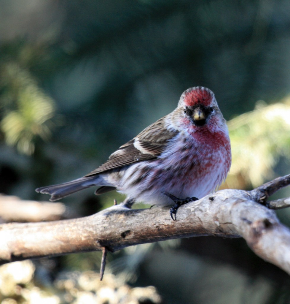 Common Redpoll (Carduelis flammea) - Photo by Alan Sorum