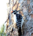 Hairy woodpecker (Picoides villosus) in Valdez, Alaska
