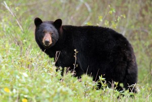 Black Bear Along Alaska Highway - Alan Sorum