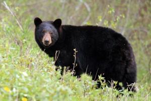 Black Bear Along Alaska Highway - Alan Sorum