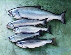 All Alaska Salmon Species - ASMI