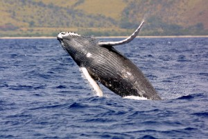Humpback whales are protected by the U.S. Marine Mammal Protection Act - NOAA Photo