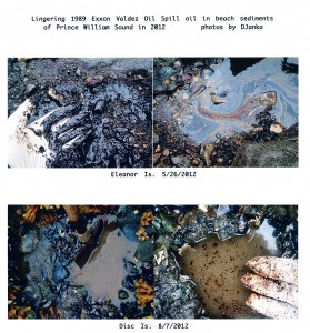 Lingering 1989 Exxon Valdez spill oil in beach sediments of Prince William Sound – Photo Dave Janka of Auklet Charters