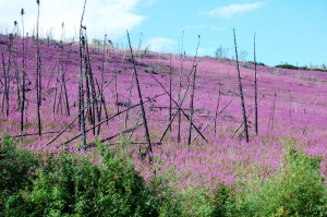 Fireweed in burned area of the Yukon Flats - Photo by University of Illinois at Urbana-Champaign