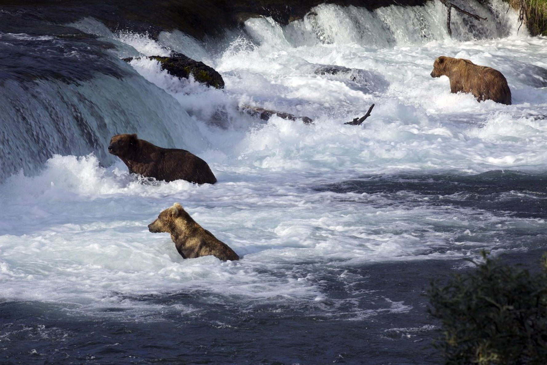 Brooks Falls Brown Bears - Photo by explore.org