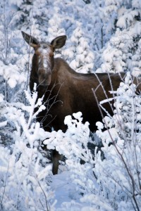 Alaska Moose in the Winter - Photo by Alan Sorum
