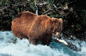 Brown bear in McNeil River State Game Sanctuary - Photo Credit: USDOT