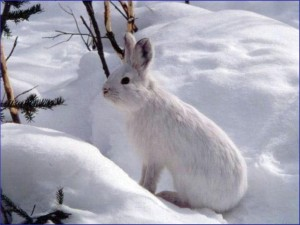 A snowshare hare holding very still is almost invisible against the snow. Photo by NPS.